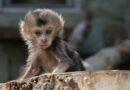 В Ленинградском зоопарке родился детеныш  редкого львинохвостого макака